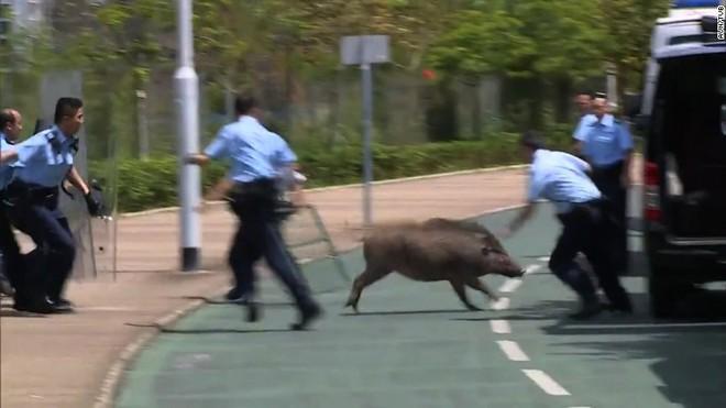 Cảnh sát cố gắng bắt một con lợn rừng năm 2017. (Ảnh: CNN)