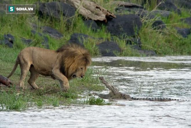 Bị vả vào mặt khi giành thức ăn với sư tử, cá sấu nóng máu có hành động đáp trả - ảnh 1