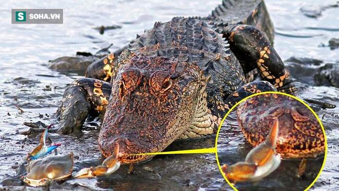 Khinh thường con mồi, cá sấu bị cua khổng lồ tẩm quất không thương tiếc - Ảnh 1.