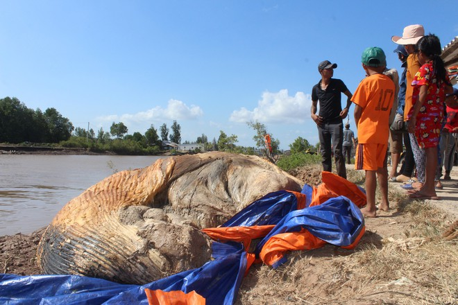 Xử lý xác cá voi khủng đang phân hủy ở Bạc Liêu - Ảnh 1.