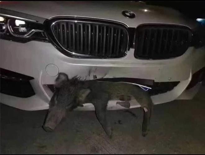 Xe BMW tiền tỷ bị vỡ đầu sau khi đâm phải chú lợn sữa chạy qua đường - Ảnh 1.
