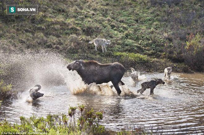 Đuối sức vì vừa sinh xong, nai mẹ sẽ đối phó với bầy sói đói