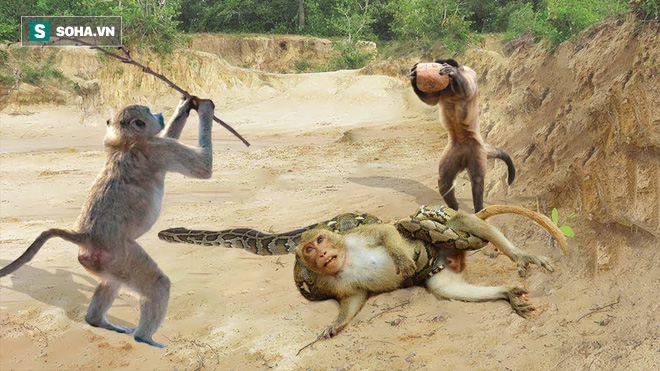 Đụng độ kẻ thù, khỉ hiếu chiến tấn công lại và mọi chuyện tồi tệ bắt đầu - Ảnh 1.