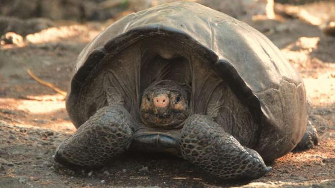 Rùa khổng lồ tưởng tuyệt chủng 100 năm trước nay tái xuất giang hồ trong sự ngỡ ngàng của khoa học - Ảnh 1.