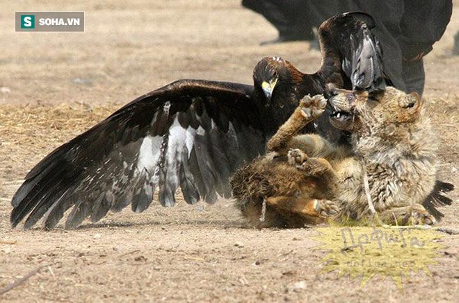 Bị đại bàng nhắm đến, sói xám quẫy đạp trong vô vọng, bất lực chịu cảnh tra tấn - Ảnh 1.