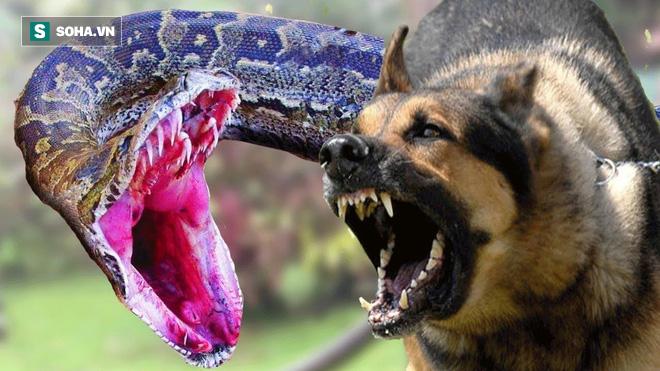 Trăn gấm bị hai chó nhà đuổi xuống tận hồ nước: Trận thủy chiến xảy ra thế nào? - ảnh 1