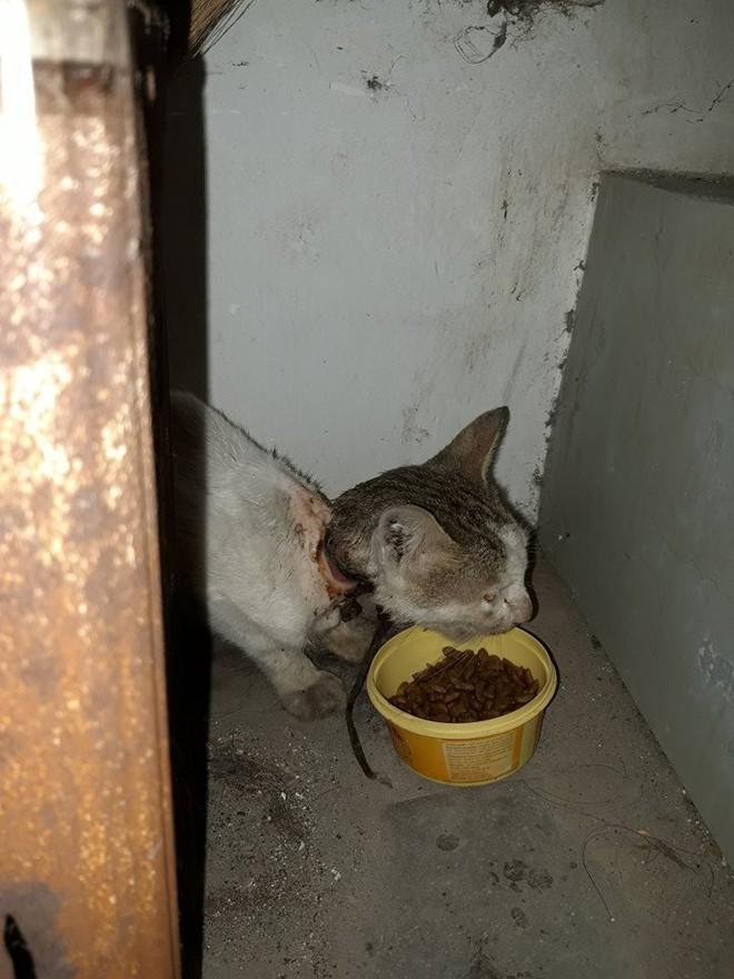 4 tuần hồi sinh kì diệu của chú mèo bị siết cổ, thịt thối rữa thành thú cưng chuẩn sang chảnh - ảnh 1