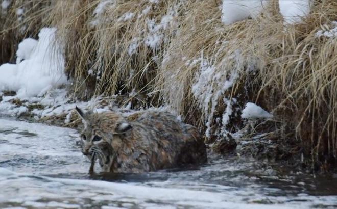 """Thế giới động vật: Linh miêu nhận """"trái đắng"""" khi đi săn mồi"""