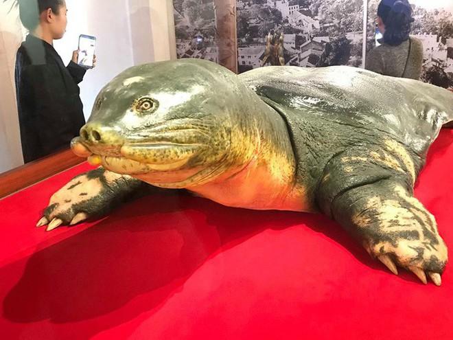 Tiêu bản cụ rùa hồ Gươm được đưa vào trưng bày ở đền Ngọc Sơn - Ảnh 1.