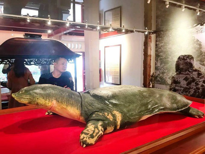 Tiêu bản cụ rùa hồ Gươm được đưa vào trưng bày ở đền Ngọc Sơn - Ảnh 2.