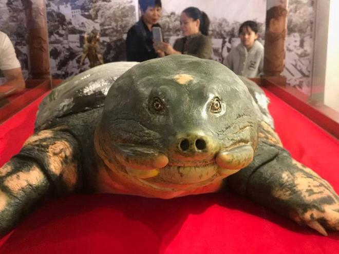 Tiêu bản cụ rùa hồ Gươm được đưa vào trưng bày ở đền Ngọc Sơn - Ảnh 3.