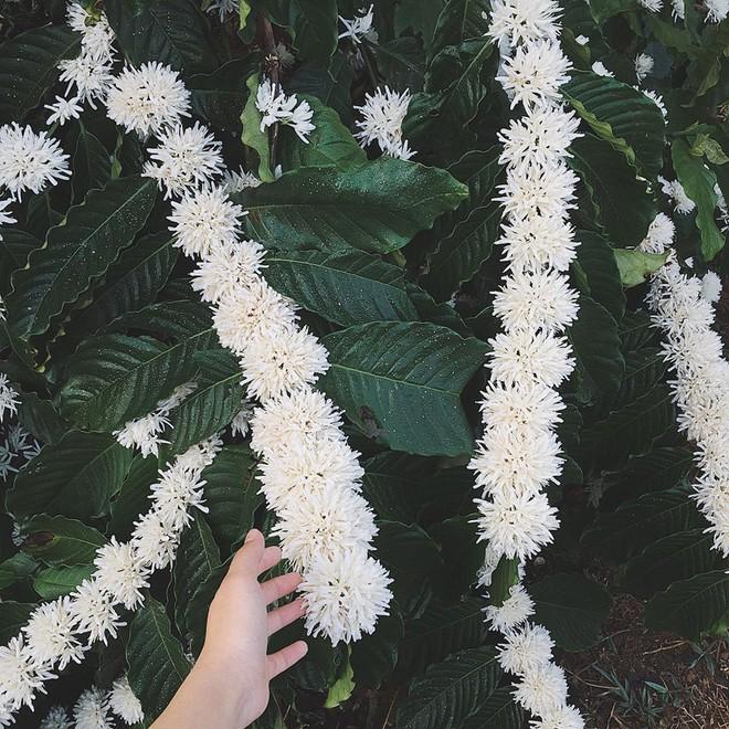 Vườn hoa cà phê trắng muốt như tuyết, người ngoài xuýt xoa khen, người trong cuộc tiết lộ chi tiết bất ngờ - ảnh 2
