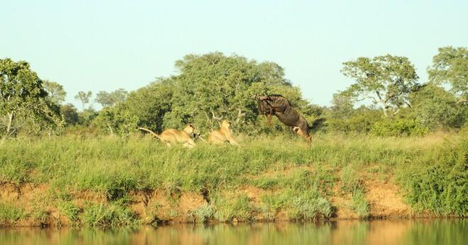 Cuộc đào thoát kỳ diệu của linh dương đầu bò và cú nhảy khiến cả đàn sư tử ngơ ngác - Ảnh 3.
