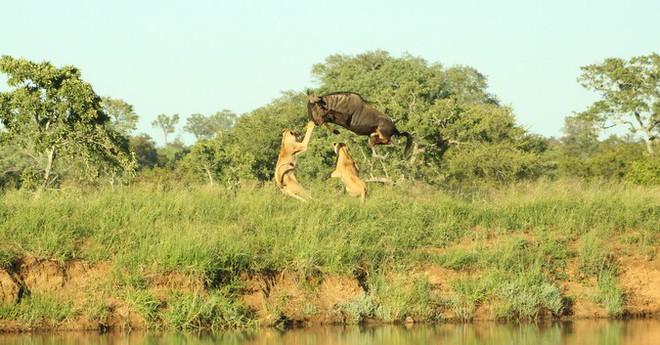 Cuộc đào thoát kỳ diệu của linh dương đầu bò và cú nhảy khiến cả đàn sư tử ngơ ngác - Ảnh 4.
