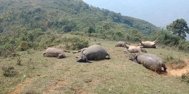 Đàn trâu 6 con bị sét đánh chết nằm chổng vó lên trời ở Lào Cai - Ảnh 3.
