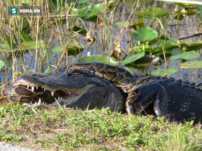 Cá sấu và trăn. Nguồn: Trivials
