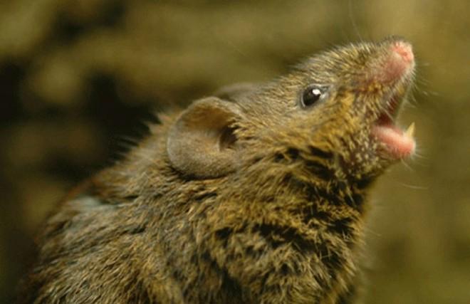 Khoa học lý giải cách loài chuột cưa gái: Hát! - Ảnh 1.