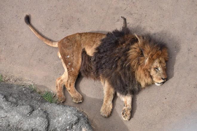Sư tử đực nằm im cho 6 sư tử cái chăm sóc: Sự thật đằng sau khiến nhiều người xót xa - ảnh 3