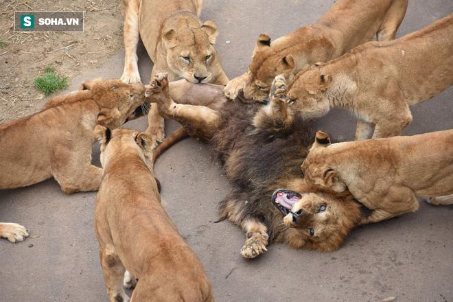 Sư tử đực nằm im cho 6 sư tử cái chăm sóc: Sự thật đằng sau khiến nhiều người xót xa - ảnh 1