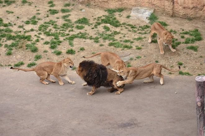 Sư tử đực nằm im cho 6 sư tử cái chăm sóc: Sự thật đằng sau khiến nhiều người xót xa - ảnh 4