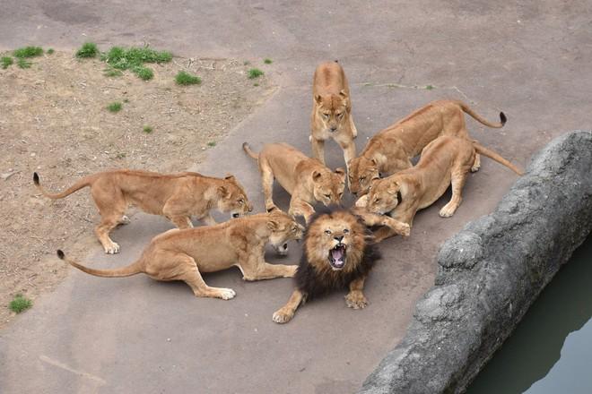 Sư tử đực nằm im cho 6 sư tử cái chăm sóc: Sự thật đằng sau khiến nhiều người xót xa - ảnh 5