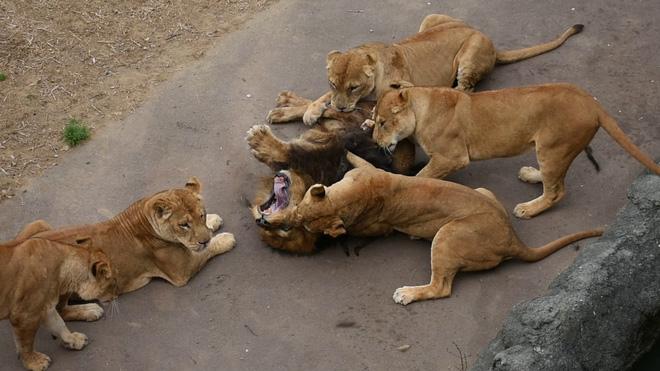 Sư tử đực nằm im cho 6 sư tử cái chăm sóc: Sự thật đằng sau khiến nhiều người xót xa - ảnh 6