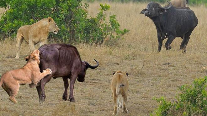 Trâu rừng giải cứu đồng loại khỏi sư tử. Nguồn: Pinterest
