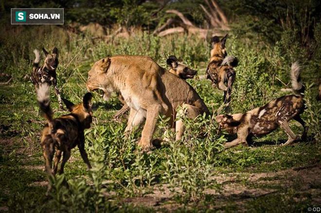 Sư tử bị chó rừng bao vây tấn công. Ảnh: Wilderness Safaris