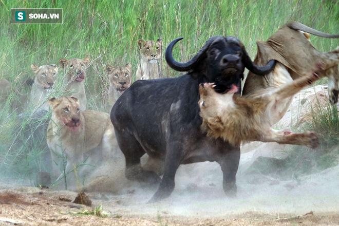 Trâu rừng móc sừng vào sư tử. Nguồn: Animal Life