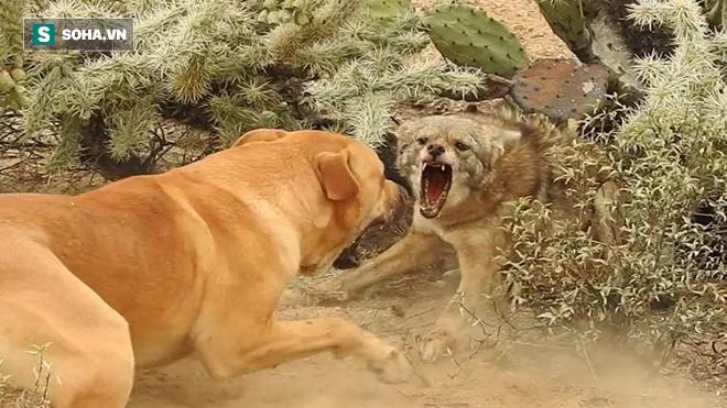 Trong lúc đau đớn nhất vì gai xương rồng, sói đồng cỏ bỏ mạng vì chó nhà cơ hội - Ảnh 1.