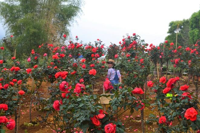 """Bỏ ngân hàng đi trồng hoa, chàng trai gây dựng vườn hồng bạc tỷ """"đẹp vạn người mê"""" - Ảnh 2."""