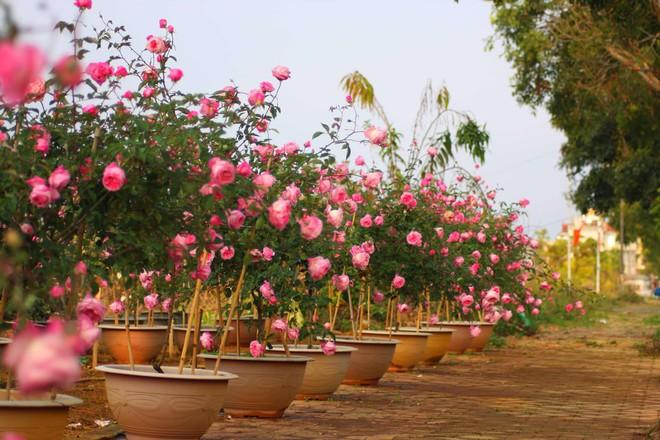 """Bỏ ngân hàng đi trồng hoa, chàng trai gây dựng vườn hồng bạc tỷ """"đẹp vạn người mê"""" - Ảnh 7."""