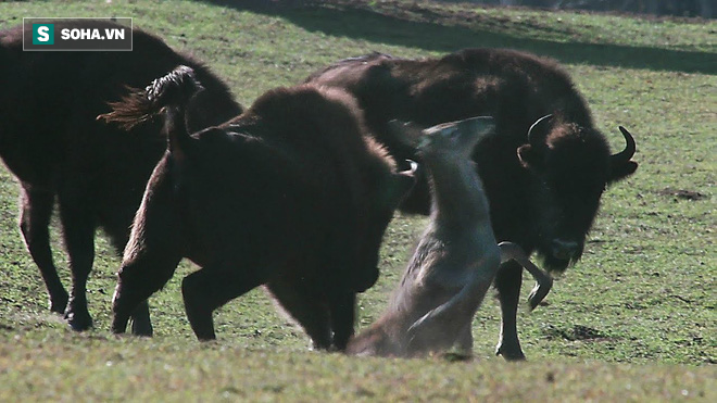 Lạc giữa bầy bò điên, hươu bị húc tới tấp, dù ngã vẫn không được tha: Kết cục nó ra sao? - ảnh 1
