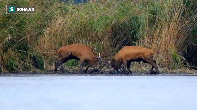 Giải quyết mâu thuẫn, 2 con nai đực dắt nhau ra bờ sông chiến đấu dữ dội - Ảnh 1.