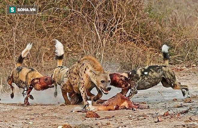 Bị cơn đói hành hạ, linh cẩu liều lĩnh một mình mò đến hang ổ kẻ thù - Ảnh 1.