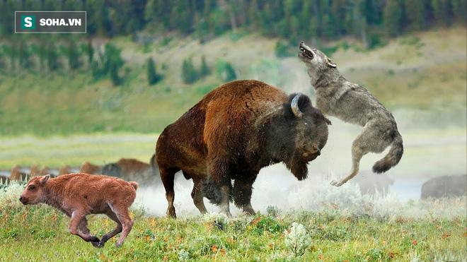 Bị cả đàn sói bao vây, bò rừng tung ra tuyệt chiêu đã thành danh của ngựa vằn - Ảnh 1.
