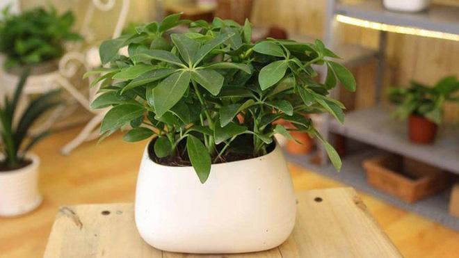 những loại cây cảnh hút tài lộc nên trồng trong nhà để tiền vào như nước - ảnh 4.