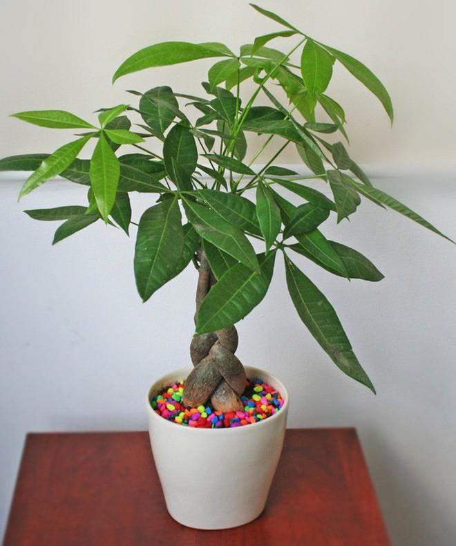 những loại cây cảnh hút tài lộc nên trồng trong nhà để tiền vào như nước - ảnh 11.