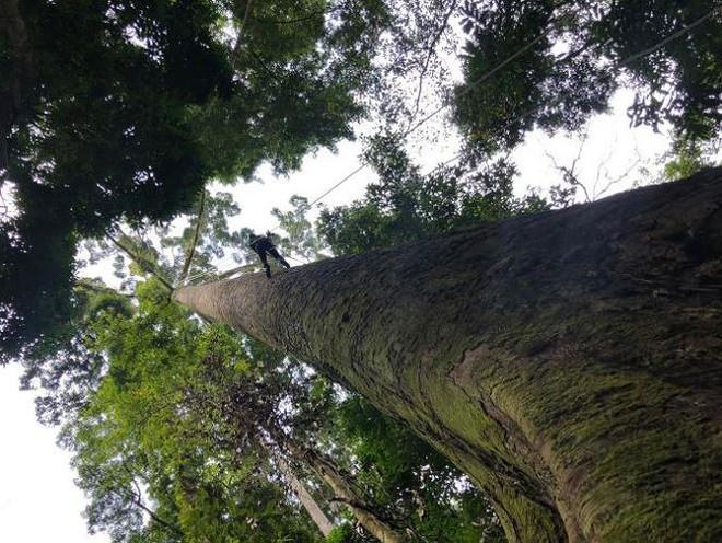 Cây nhiệt đới cao nhất thế giới cao 100,8 m, nặng 81,5 tấn - Ảnh 2.