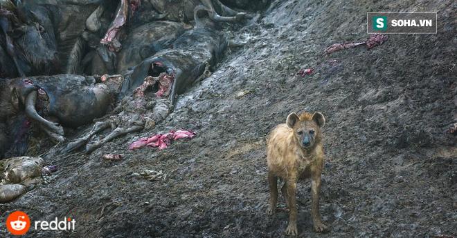 Linh cẩu là loài ăn thịt đầy cơ hội. Nguồn: Reddit