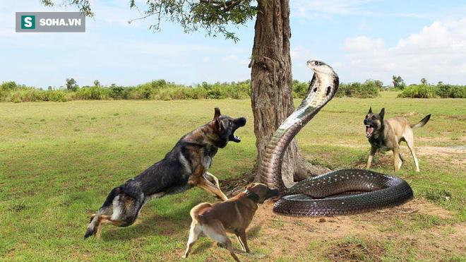 Bơi dưới cống nước, hổ mang chúa vẫn bị chó nhà phát hiện: Số phận nó sẽ ra sao? - Ảnh 1.