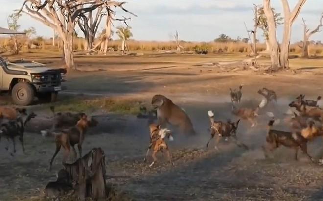 Thế giới động vật: Sư tử mẹ bình thản khi bị cả đàn chó hoang tấn công