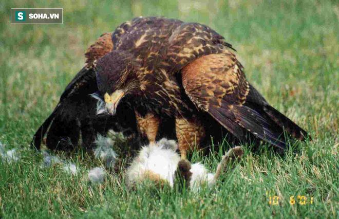 Cả nhà diều hâu Harris cùng đánh hội đồng, vây bắt thỏ con bé nhỏ - Ảnh 1.