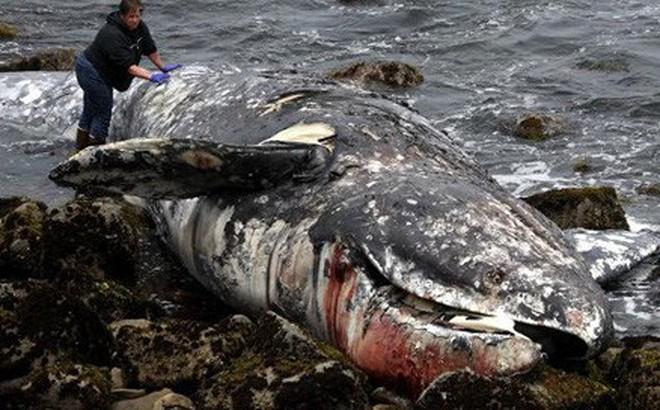 Cá voi xám chết, liên tục dạt vào bờ Vịnh San Francisco