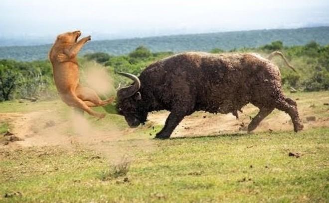 Video: Cuộc chiến không cân sức khi trâu rừng đối đầu với 2 con sư tử