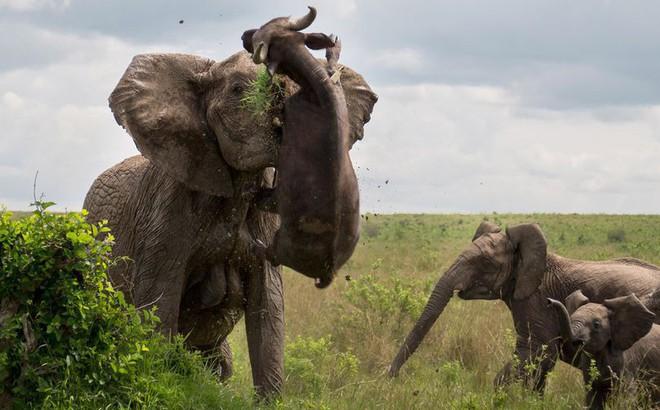 """Cảm thấy nguy hiểm, voi mẹ hất tung """"kẻ xâm phạm"""" nặng đến nửa tấn lên trời"""