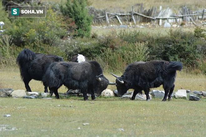 Bò Tây Tạng húc nhau. Nguồn: TripAdvisor