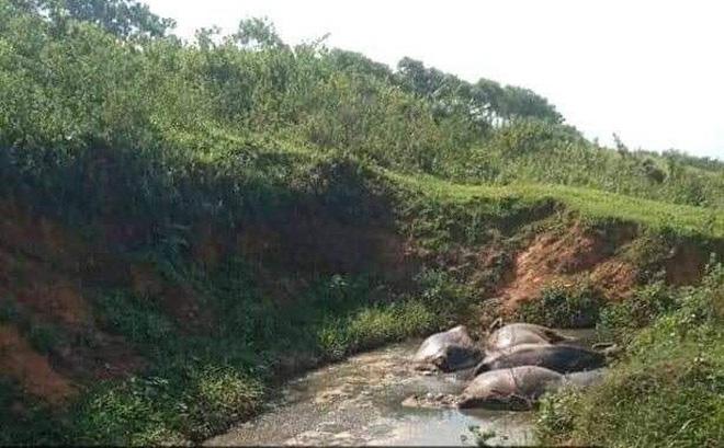 Hòa Bình: Đàn trâu 5 con chết bất thường dưới vũng nước