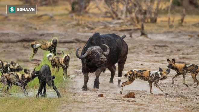 Trâu mệ bất lực trong việc bảo vệ con trước chó hoang. Ảnh: Pinterest