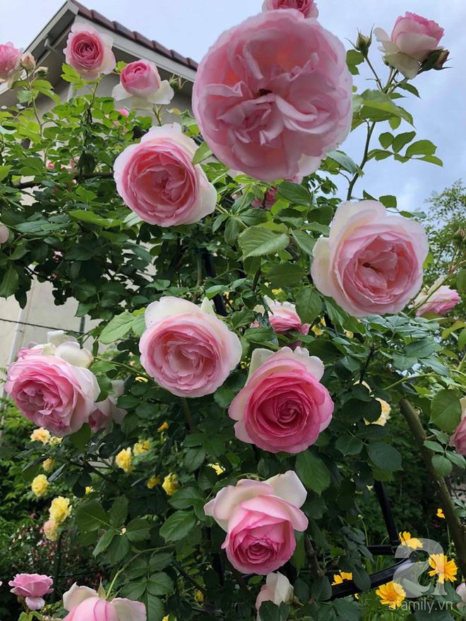 Khu vườn hoa hồng trước nhà đẹp như cổ tích của người đàn ông Việt ở Nhật - Ảnh 12.